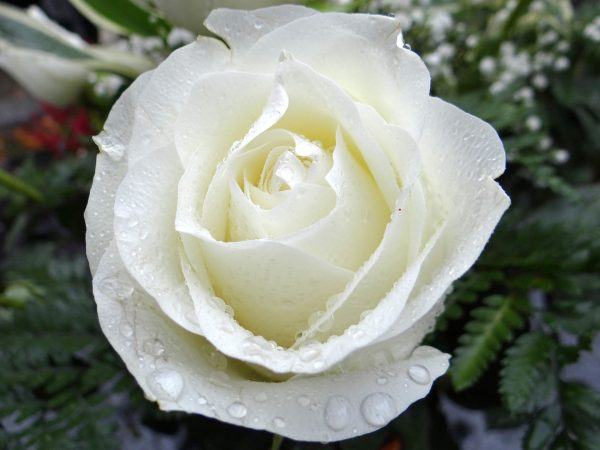 White Rose of Abundantia
