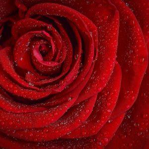 Flower of Aphrodite